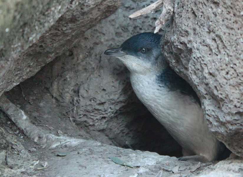 28-09-2014-St-Kilda---penguins-4