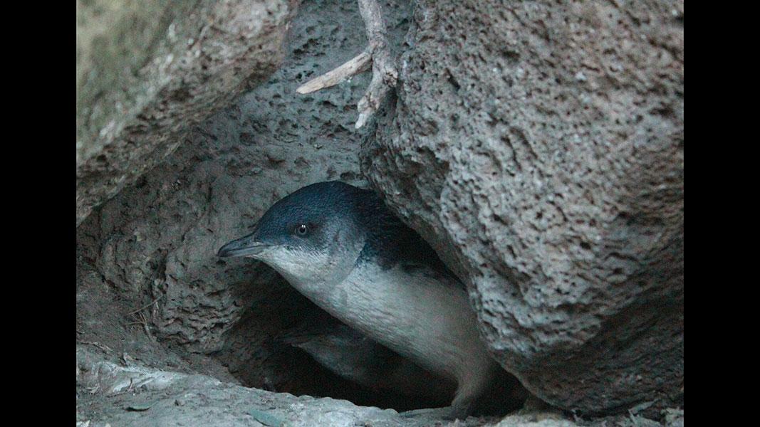St-Kilda---penguins-1