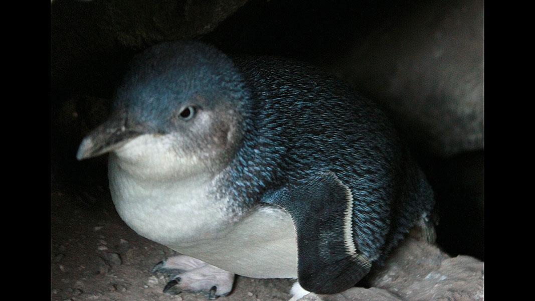 St-Kilda---penguins-3