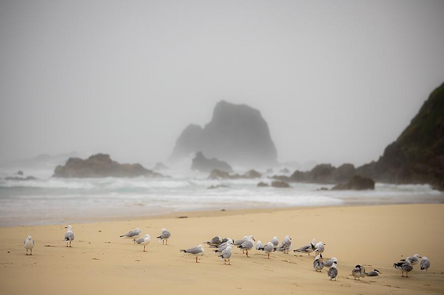 16-12-2020-Narooma_terns_and_silver_gulls-(14)
