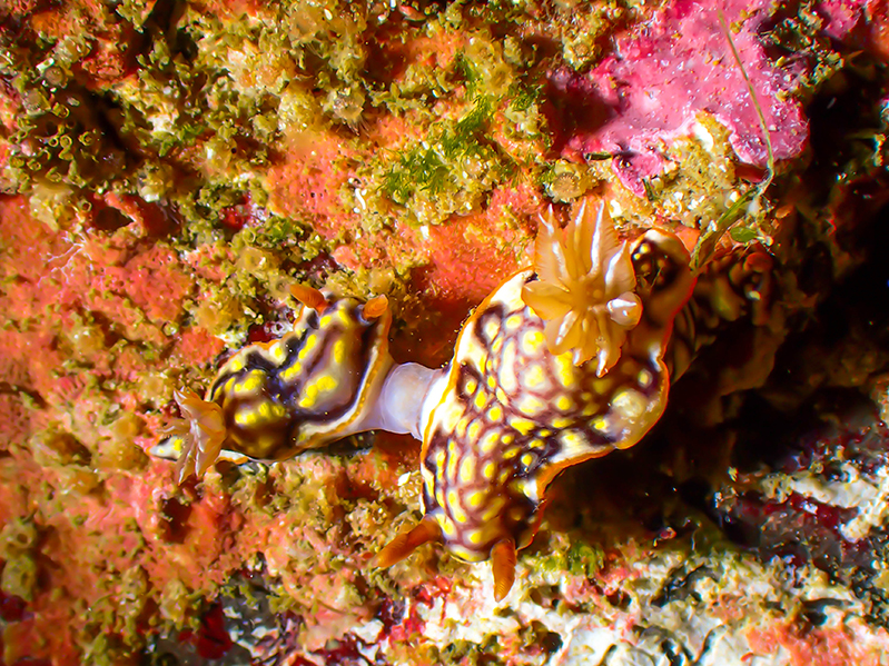 26-12-2020-South-Solitary-Island---nudibranchs-mating-(3)