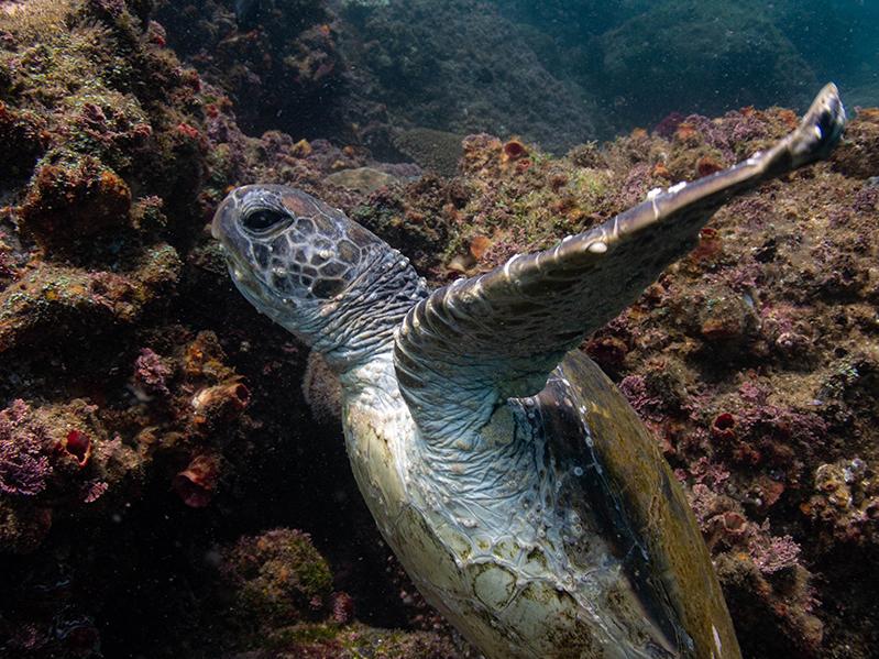 27-12-2020-Cook-Island---green-turtle-(7)
