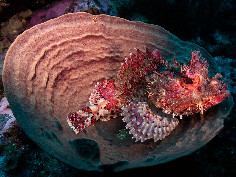 31-12-2020-Bass-Point---scorpionfish-in-sponge-(3)